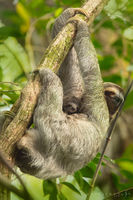 sloth, baby, costa rica, moths, algae, mother,