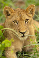 lion, cub, timbavati, motswari, africa, safari, south africa, baby, wildlife, pride