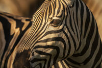 zebra, stripes, africa, south africa, safari,