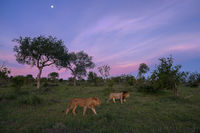 lion, sunset, lions, africa, south africa, timbavati, motswari, moon, environment, landscape