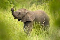 elephant, baby, baby elephant, kruger national park, kruger, south africa, africa, safari, big 5,