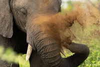elephant, safari, trunk, dust bath,