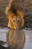 lion, male, mane, timbavati, africa, south africa, big cat