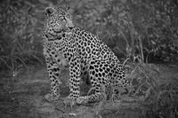 leopard, timbavati, kruger, motswari, black and white, wildlife