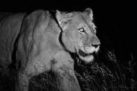 lion, hunt, lioness, night, safari, timbavati, motswari, south africa, kruger, africa,