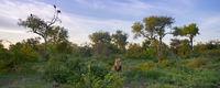 lion, vultures, africa, kruger, timbavati, mane, landscape,