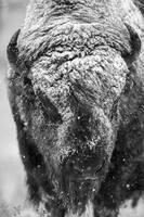 Bison, buffalo, snow, storm,