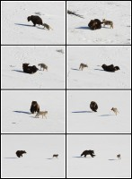 coyote, grizzly, bear, playing, interaction, fight, yellowstone national park, wyoming, animal behavior, funny, cute