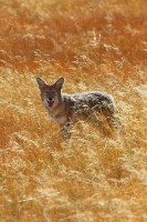 dry, meadow, yellowstone national park wyoming, wy, yellowstone, canine, coyote coyotes, canis latrans,