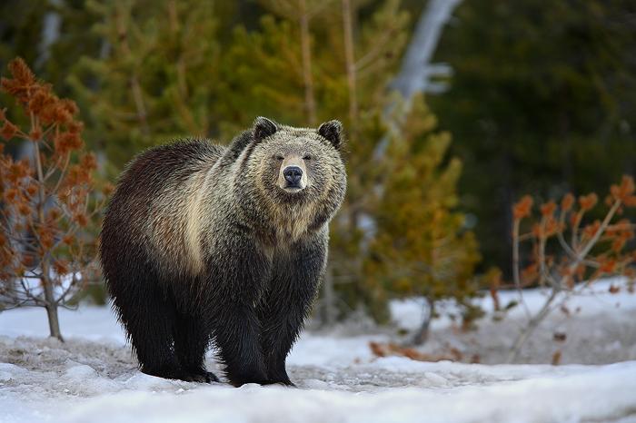 Silvertip Grizzly Bear Ursus Arctos Yellowstone