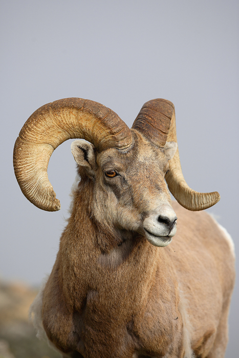 The Rocky Mountain Bighorn Sheep is the quintessential animal of the mountains, and the state animal of Colorado. These animals...
