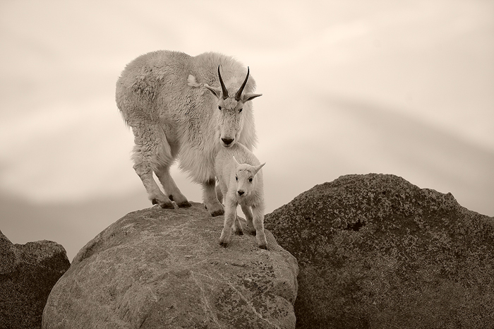 A nanny mountain goat and her kid stand atop a boulder on Mt. Evans. These incredible creatures exist in extremely harsh and...