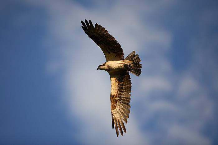 osprey, colorado, flying, sky, , photo