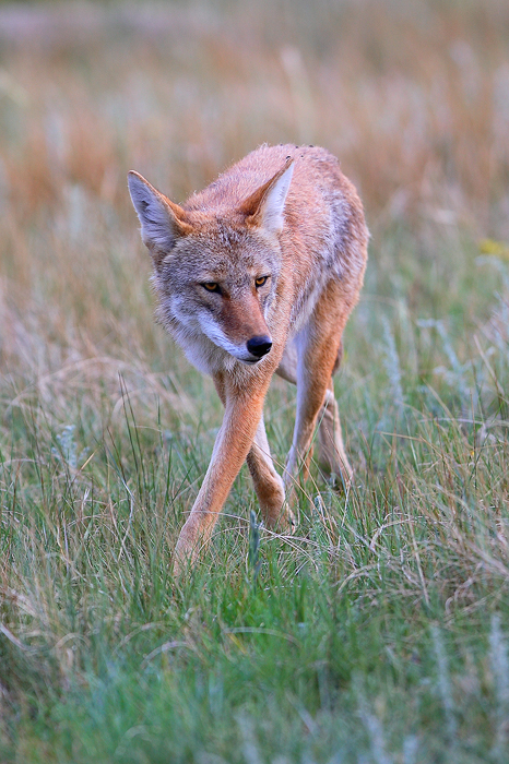 0033, bad intentions, bad, intentions, coyote, coyotes, canis latrans, canis, latrans, rocky mountain national park, roc, photo