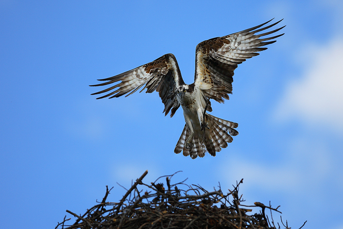 osprey, pandion haliaetus, colorado, nest, wings, fly, arched,, photo