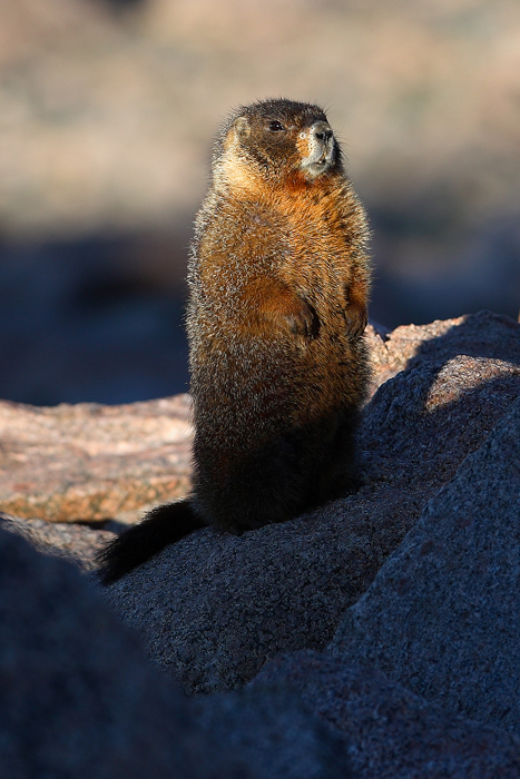yellow bellied marmot, marmot. marmots, colorado. mt. evans, mt evans, mount evans, , photo