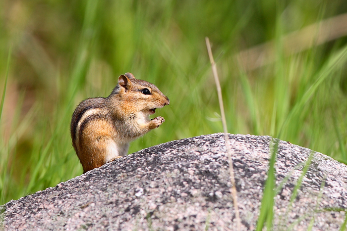 chipmunk, horicon marsh, horicon, wisconsin, , photo