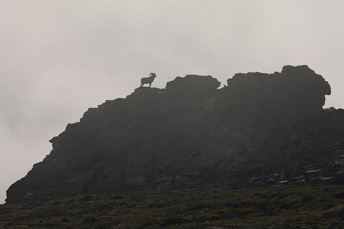 bighorn sheep, bighorn, sheep, rocky mountain national park, colorado, rocky mountain, ovis canadensis, ram, rams, , photo