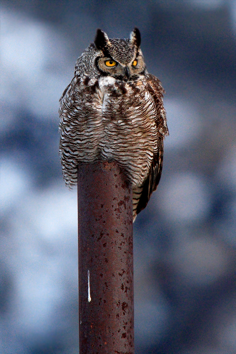 great horned owl, owl, san luis valley, colorado, photo