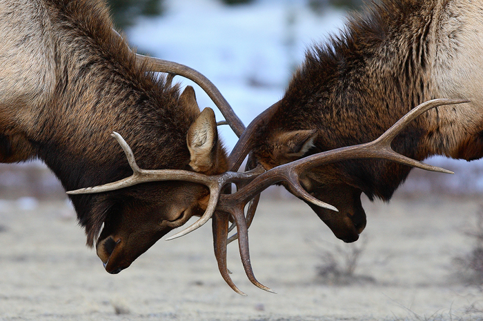 Bull elk, bull, elk, two, cervus canedensis, rocky mountain national park, colorado, fight, sparring, battle, , photo