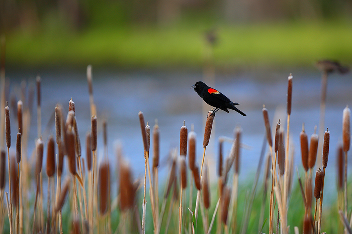 The throaty call of a red-winged blackbird is a sound I've always associated with summer. These beautiful birds, although common...