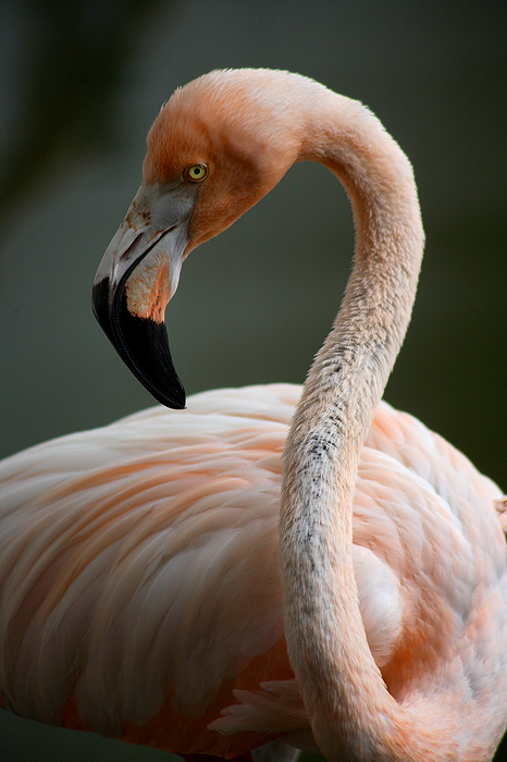 flamingo, dominican republic, dominican, bird, pink, , photo