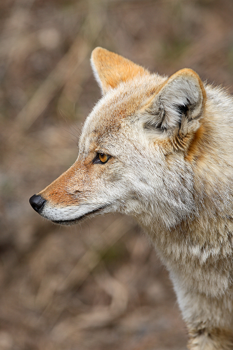 national, park, 0119, coyote profile, coyote, profile, canis latrans, canis, latrans, yellowstone national park, wyoming, photo