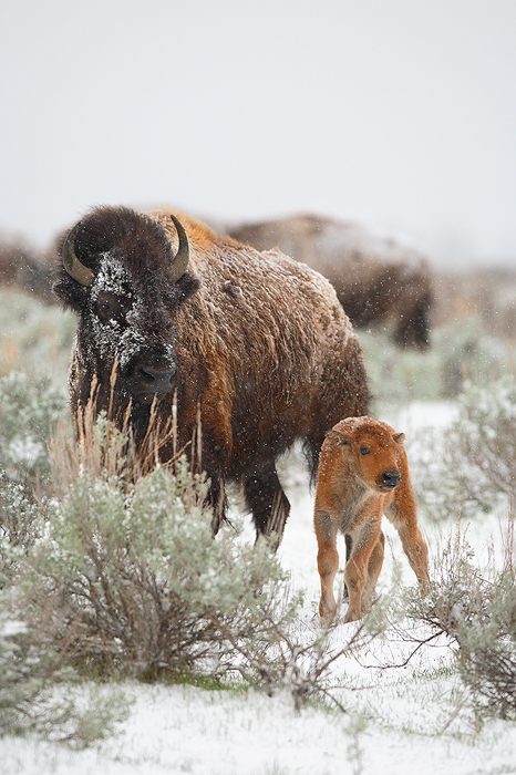 american bison, bison, bufallo, baby, babies, grand teton national park, grand tetons, grand teton, teton, tetons, photo