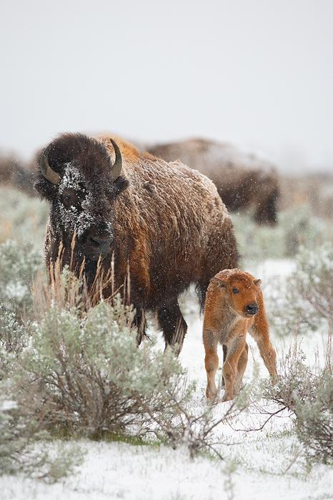 american bison, bison, bufallo, baby, babies, grand teton national park, grand tetons, grand teton, teton, tetons, photo