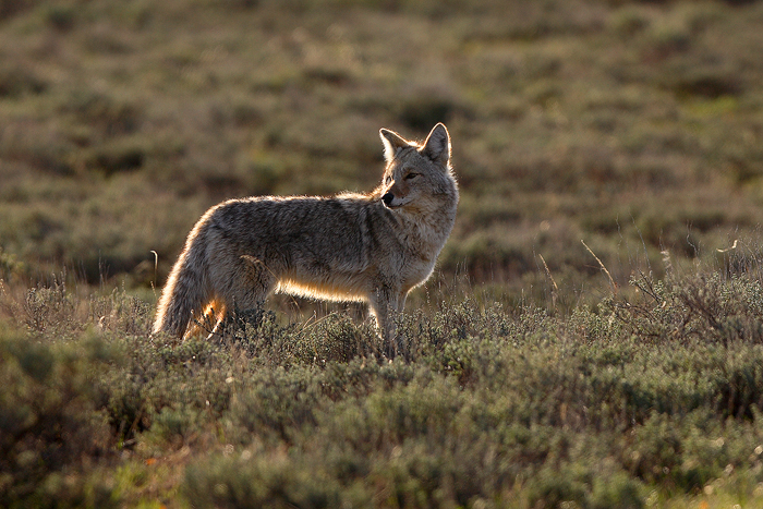 A coyote, bathed in morning light, pauses momentarily while crossing the sagebrush flats of Grand Teton National Park.&...