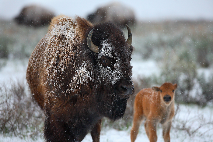 american bison, bison, grand teton national park, wyoming, grand teton, tetons, baby, mother, mom, , photo