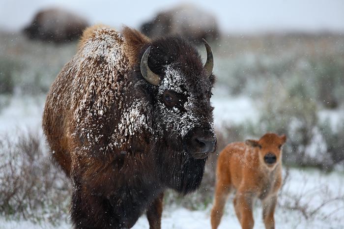 american bison, bison, grand teton national park, wyoming, grand teton, tetons, baby, mother, mom, , photo