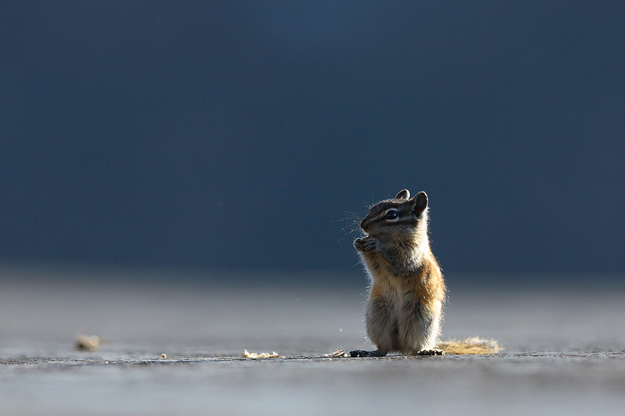 chipmunk, mt evans, colorado, mount evans, mt. evans, moun, evans, , photo