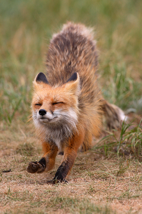 0162, stretch, red fox, foxes, red, fox, vulpes vulpes, vulpes, breckenridge colorado, breckenridge, colorado, den, , photo