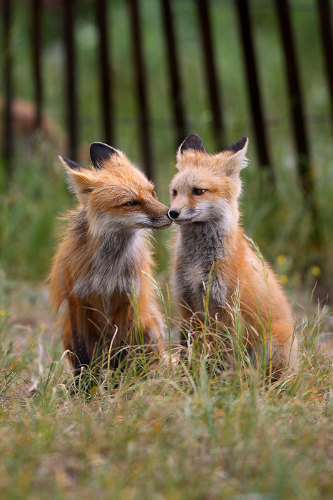 0163, two, red foxes, red, foxes, fox, vulpes vulpes, vulpes, breckenridge colorado, breckenridge, colorado, mother, pup, photo