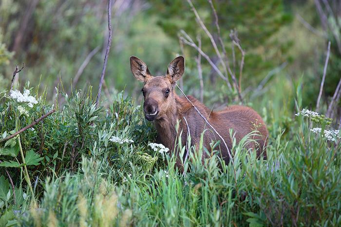 moose, calf, moose calf, moose baby, rocky mountain national park, colorado, rocky mountain, national park, , photo