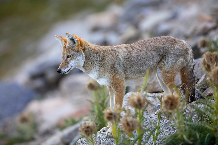 0225, watchful eye, watchful, eye, coyote, canis latrans, canis, latrans, mt evans, mt, evans, mt. evans, mt., mount eva, photo