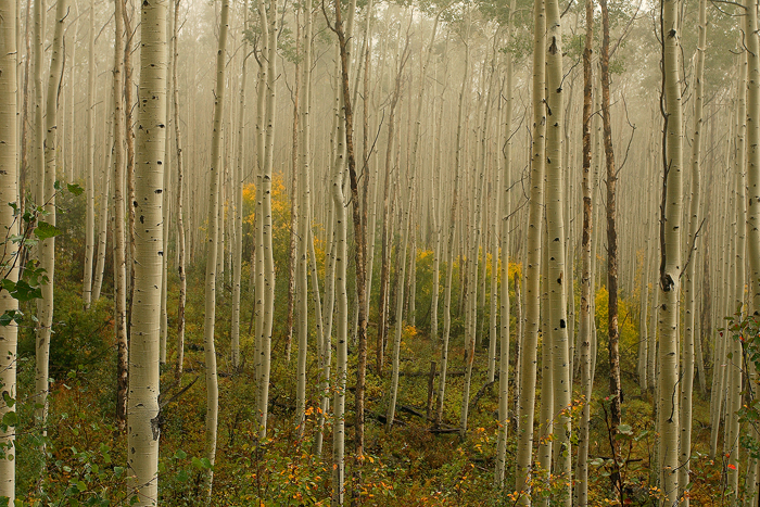 aspen, colorado, aspens, tree, trees, leaves, autumn, fall, forest, fog, , photo