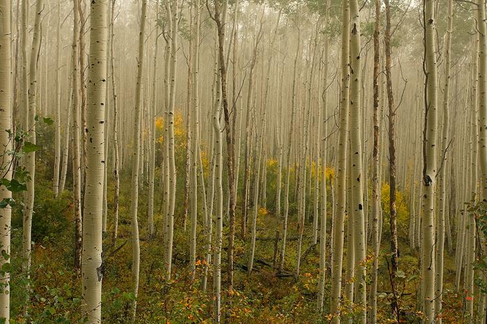 aspen, colorado, aspens, tree, trees, leaves, autumn, fall, forest, fog, , photo