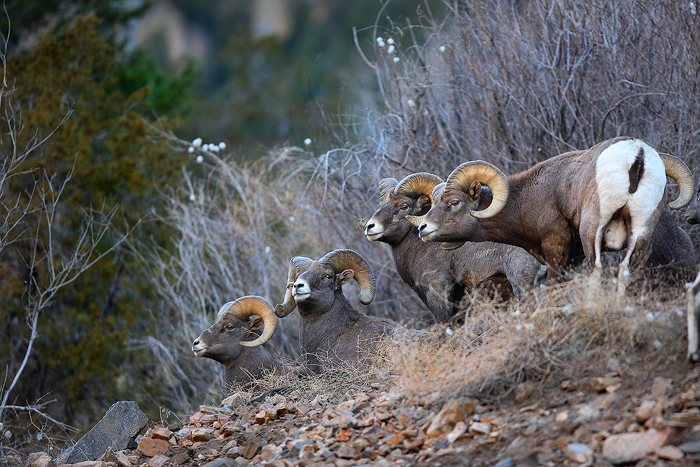 bighorn sheep, bighorn sheeps, sheep, colorado, georgetown, horns, butting, heads, ovis canadensis, photo