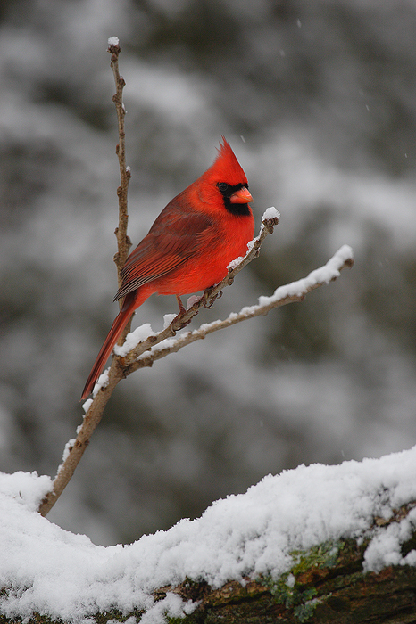Jewel of Winter : Northern Cardinal - Wisconsin : Nate ...