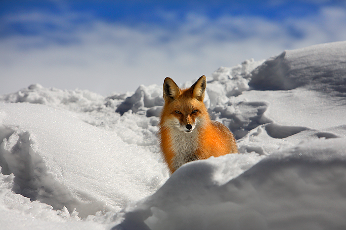 0293, fox stare, fox, stare, red fox, red, fox, vulpes vulpes, vulpes, keystone colorado, keystone, colorado, red, den, , photo