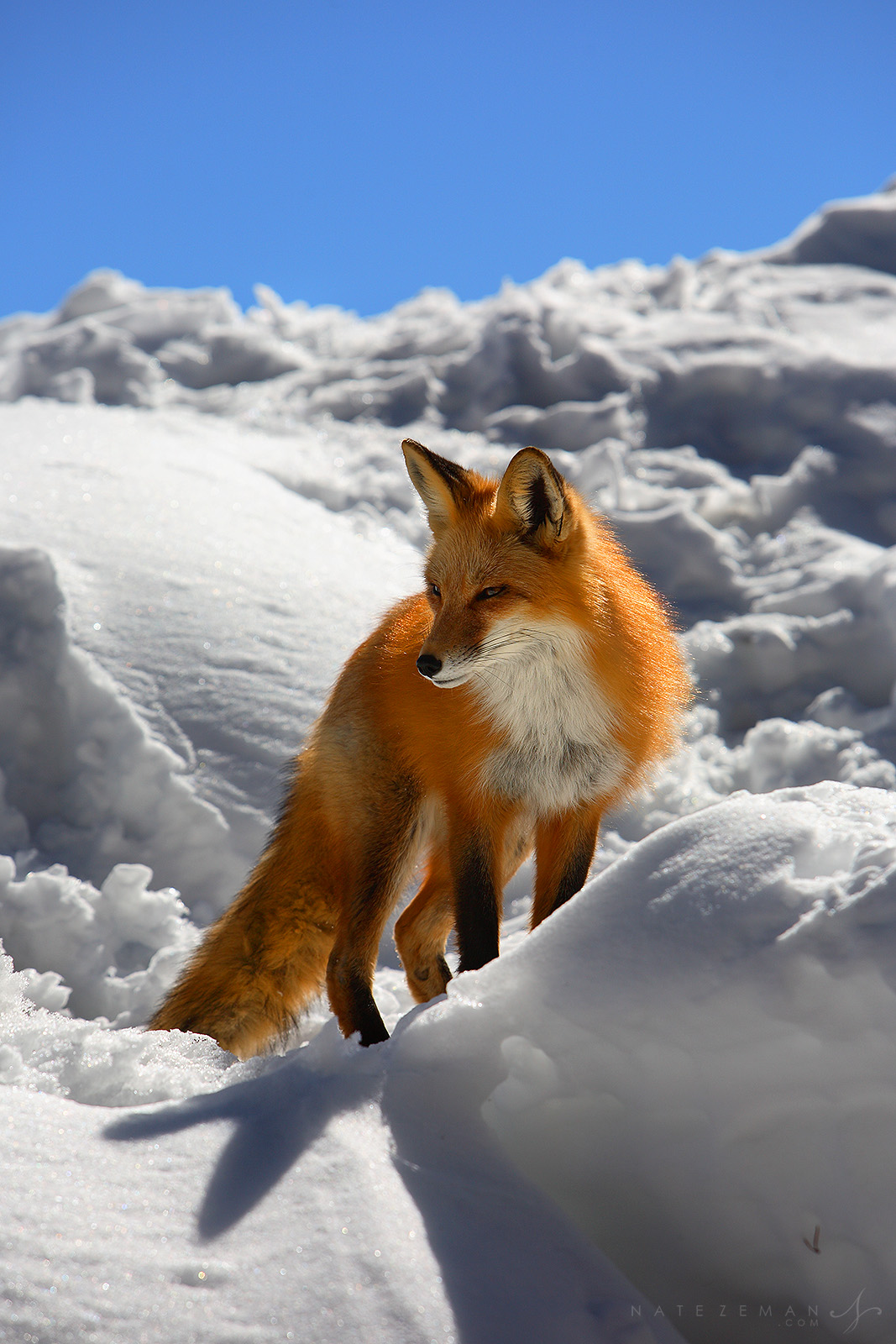 winter, fox, Vulpes vulpes, keystone, colorado, den, snow, snowy, rays, sun, warm, winter, fox, creatures, 0296, foxes, photo