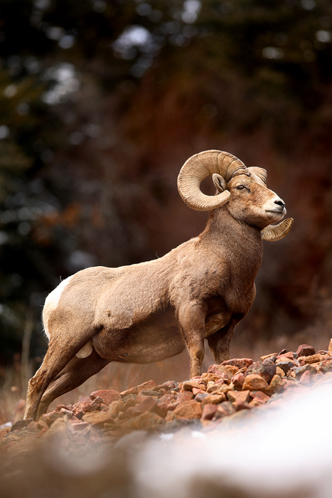 bighorn sheep, bighorn, sheep, ram, mountain, horns, ovis canadensis, red, colorado, silver plume,, photo