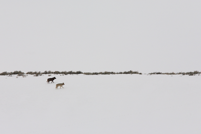 Two members of the legendary druid peak pack climb a snowy hillside in the Lamar Valley of Yellowstone National Park. The druids...