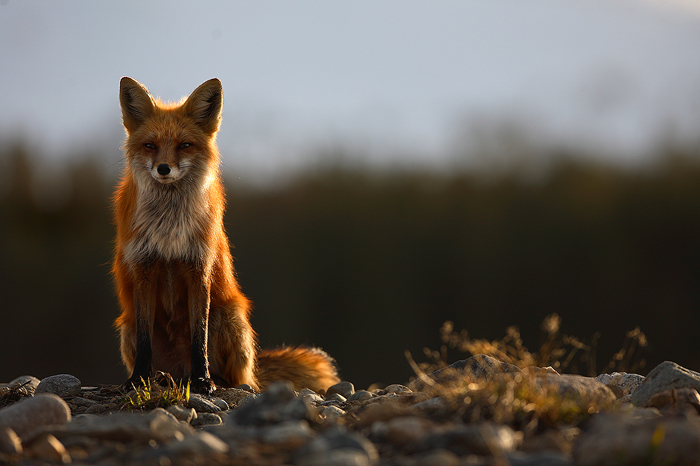 0315, the vixen, vixen, red fox, red, fox, foxes, vulpes vulpes, vulpes, breckenridge colorado, breckenridge, colorado, , photo