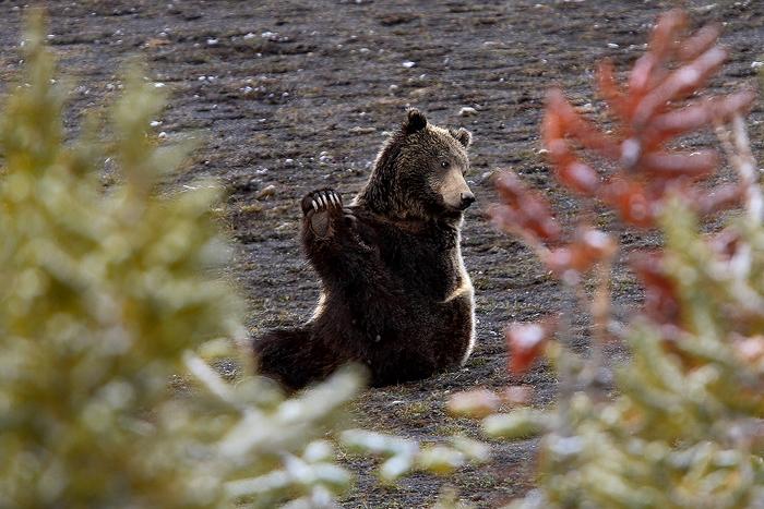 grizzly bear, grizzly bears, grizzly, grizzlies, bear, bears, yellowstone national park, wyoming, yellowstone, ursus arc, photo