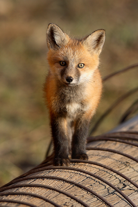 0332, the curious kit, curious, kit, red fox, red, fox, vulpes vulpes, vulpes, fox kit, kit, pup, breckenridge, colorado, photo