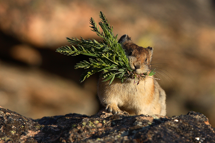 haymaker, american pika, pikas ochotona princeps, rocky mountain national park, colorado, alpine, tundra, summer, grass,, photo