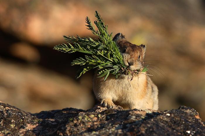 haymaker, american pika, pikas ochotona princeps, rocky mountain national park, colorado, alpine, tundra, summer, grass,, photo